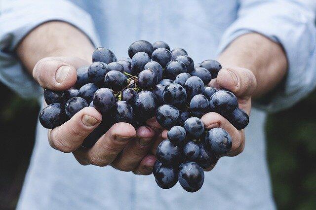 Grapes could keep Alzheimer's at bay