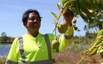 Top End mango season ramps up as picking starts in NT