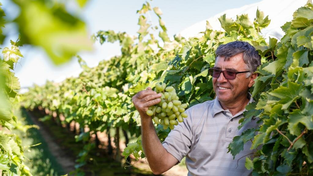 Sunraysia table grape rewards ripe for picking