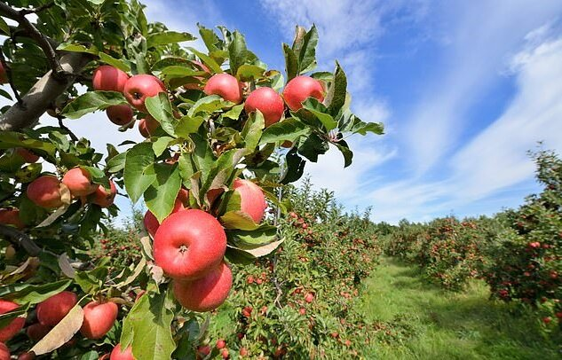 WA apple growers bring in new tests to ensure fruit is harvested at exactly the right moment