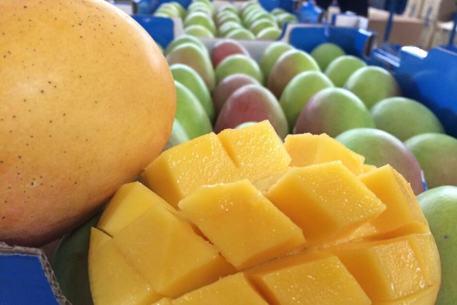How Northern Territory mangoes went from luxury item to household staple